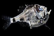 [captive] Deep Sea fish Atlantic Ocean, close to Cape Verde   Atlantischer Ozean, nahe Kap Verde