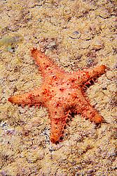 Sheriff-badge star or keeled star, Asteropsis carinifera, Kona Coast, Big Island, Hawaii, Pacific Ocean