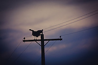RIO GRANDE TURKEYS ROOSTING ON A POWERLINE