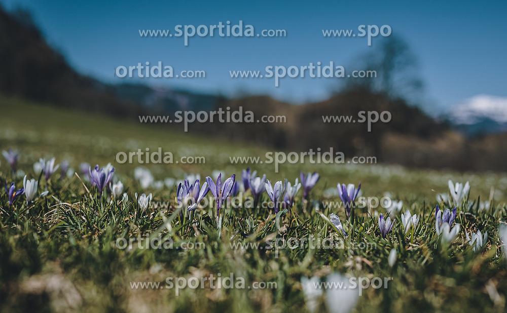 THEMENBILD - Krokus auf einer Wiese, aufgenommen am 05. April 2020 in Kaprun, Oesterreich // Crocus in a meadow, in Kaprun, Austria on 2020/04/05. EXPA Pictures © 2020, PhotoCredit: EXPA/Stefanie Oberhauser