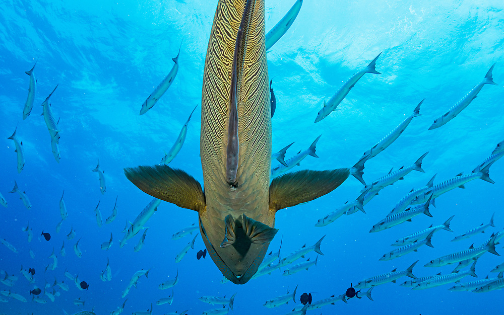 A Napoleon wrasse (Cheilinus undulatus) under a School of Blackfin barracuda (Sphyraena qenie) at Blue Corner, Palau.