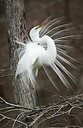 Great Egret Courtship Display