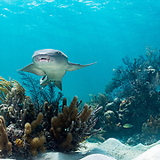 A nurse shark (Ginglymostoma cirratum) swims over a coral reef in The Bahamas.