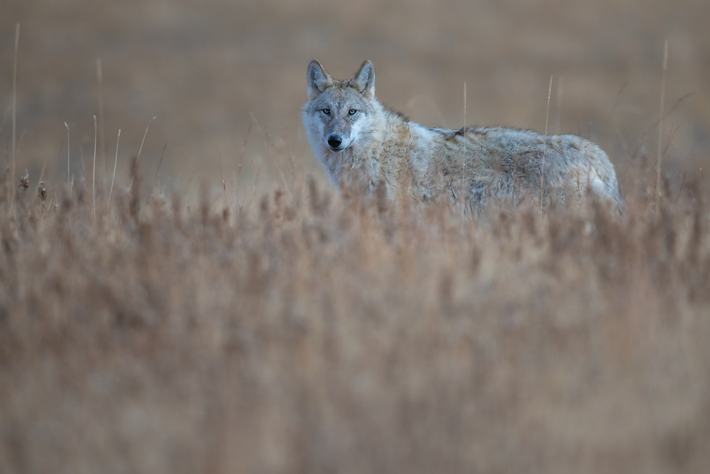 Tibetan wolf, Canis lupus filchneri, Dulan nature reserve, Tibetan Plateau, Qinghai, China