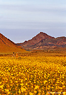 Photogrpaher in vast field of desert gold wildflowers in Death Valley National Park in California