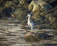 Grey Heron in Alesund, Norway. Image taken with a Nikon D2xs camera and 80-400 mm VR lens (ISO 200, 400 mm, f/6, 1/160 sec).