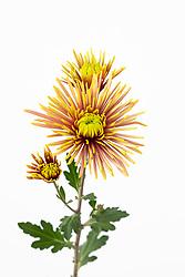 Chrysanthemum 'Tula Improved'