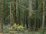 A small vine maple bush lends a bright yellow spot of color amidst the moss-covered trees in a Douglas Fir forest in Oregon