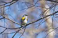 Yellow-rumped warbler (Setophaga coronata) AKA Myrtle Warbler, perched in a tree, Annapolis Royal Marsh, French Basin trail, Annapolis Royal, Nova Scotia, Canada