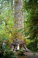 Big Spruce Tree. Hoh River Rain Forest. Olympic National Park, WA