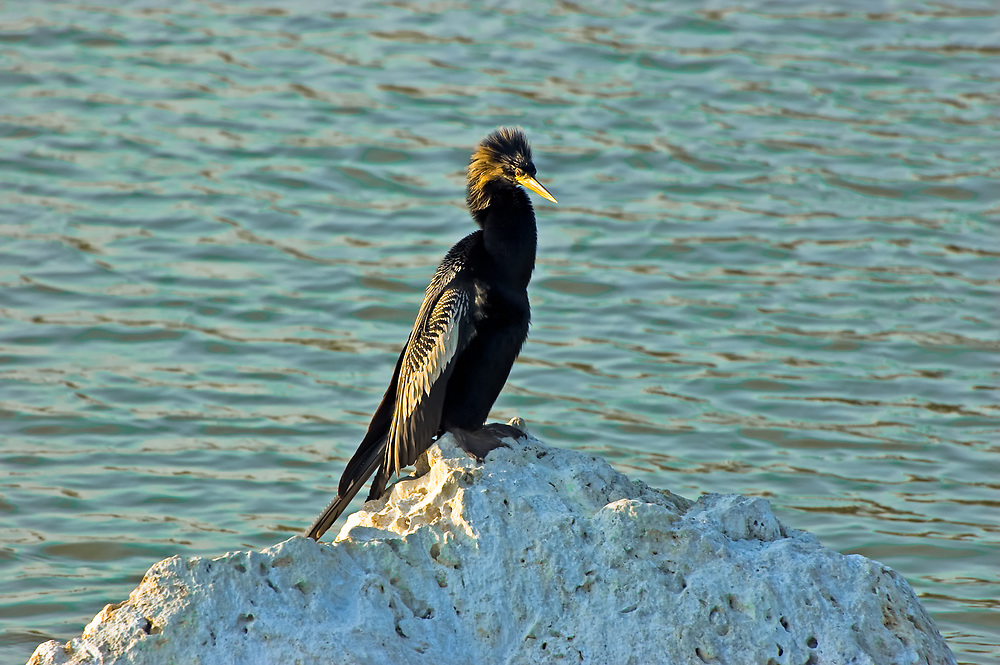 Related to pelicans and cormorants, this male anhinga is in full breeding plumage in a freshwater lake in Fort Myers, Florida. Common along the wetlands of the Gulf Coast on the United States, this fish-specialist is widely scattered across Central America and can be found throughout the whole of the Amazon River Basin in South America.
