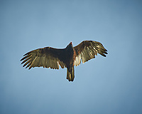 Turkey Vulture soaring. Image taken with a Nikon D300 camera and 80-400 mm VR lens (ISO 200, 400 mm, f/5.6, 1/500 sec).