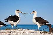 Laysan albatross, Phoebastria immutabilis, presenting nesting material during courtship dance, Sand Island, Midway Atoll, Midway National Wildlife Refuge, Papahanaumokuakea Marine National Monument, Northwest Hawaiian Islands, USA ( North Pacific Ocean )