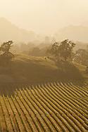 Beringer Vineyards Knights Valley vineyard on a spring evening. Sonoma, California