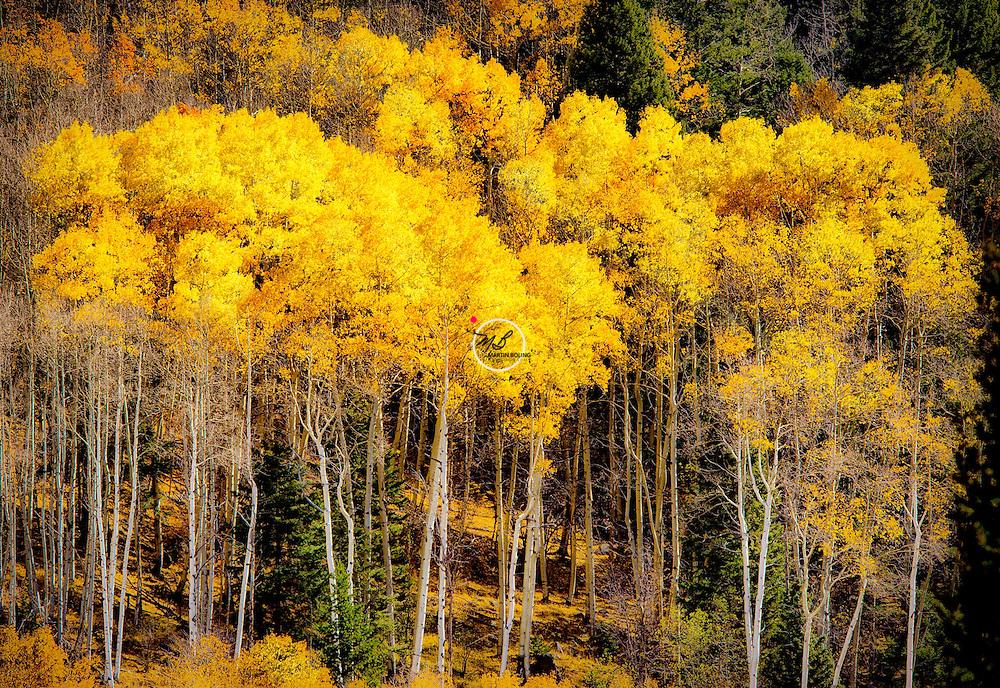 Golden Yellow Aspens, New Mexico