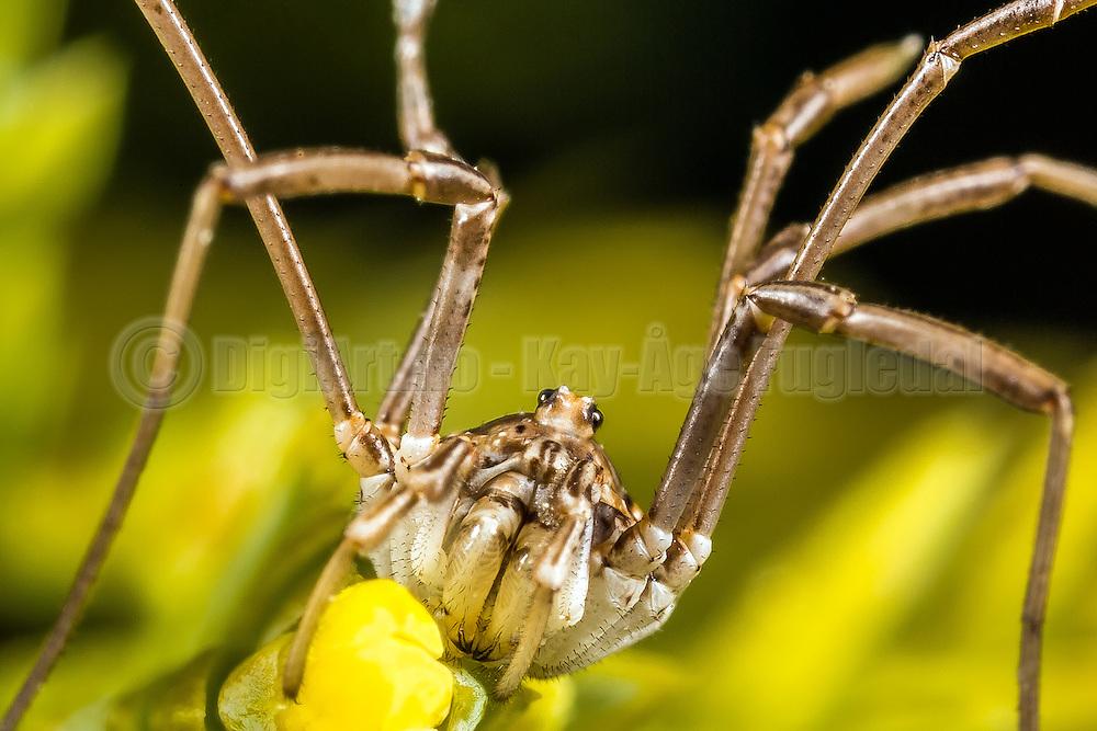 Macro picture of a spider on a flower | Makrobilde av en edderkopp på en blomster.
