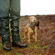 A labrador holding a grouse in its mouth on a grouse shoot, Bransdale, North York Moors, North Yorkshire, UK