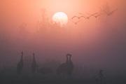 Foggy autumn morning with flocks of common cranes (Grus grus) in migration stopover site, Kemeri National Park (Ķemeru Nacionālais parks), Latvia Ⓒ Davis Ulands | davisulands.com