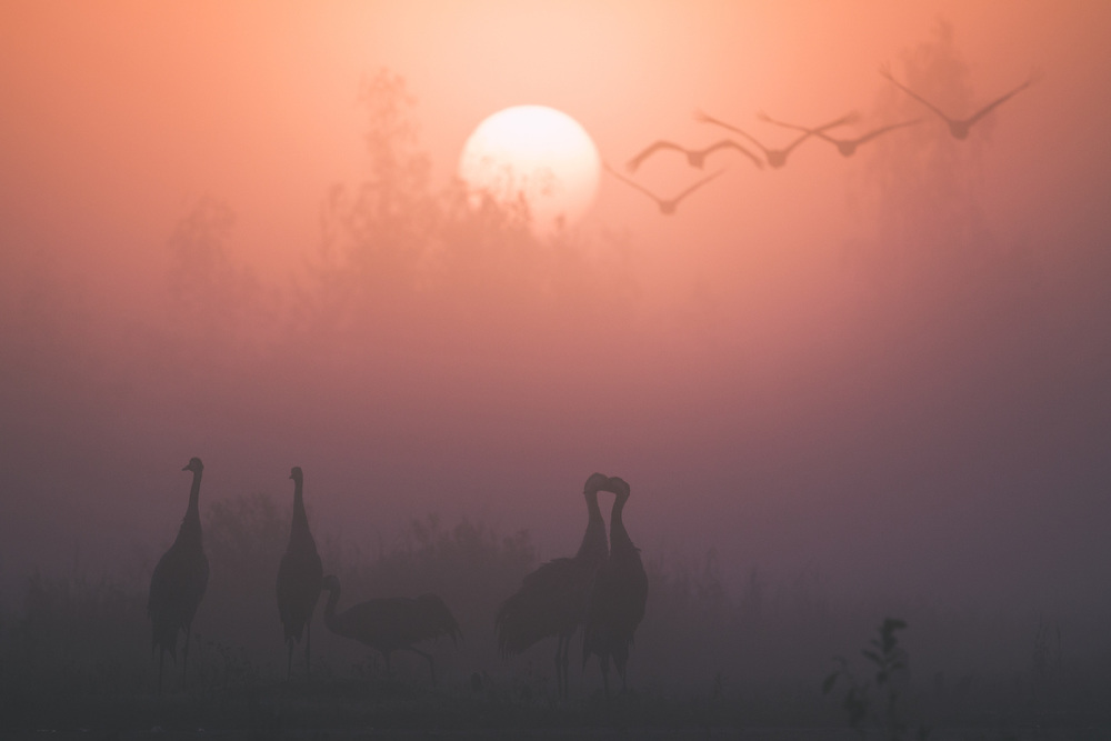 Foggy autumn morning with flocks of common cranes (Grus grus) in migration stopover site, Kemeri National Park (Ķemeru Nacionālais parks), Latvia Ⓒ Davis Ulands | davisulands.com