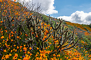 Cactus on the hillside surrounded by California poppies.