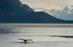 A humpback whale dives in the Sitakaday Narrows of the main bay of Glacier Bay National Park and Preserve in this view seen from Young Island located in the Beardslee Islands of the park in southeast Alaska. In the near background is Marble Mountain and in the far background is Mt. Abdallah.