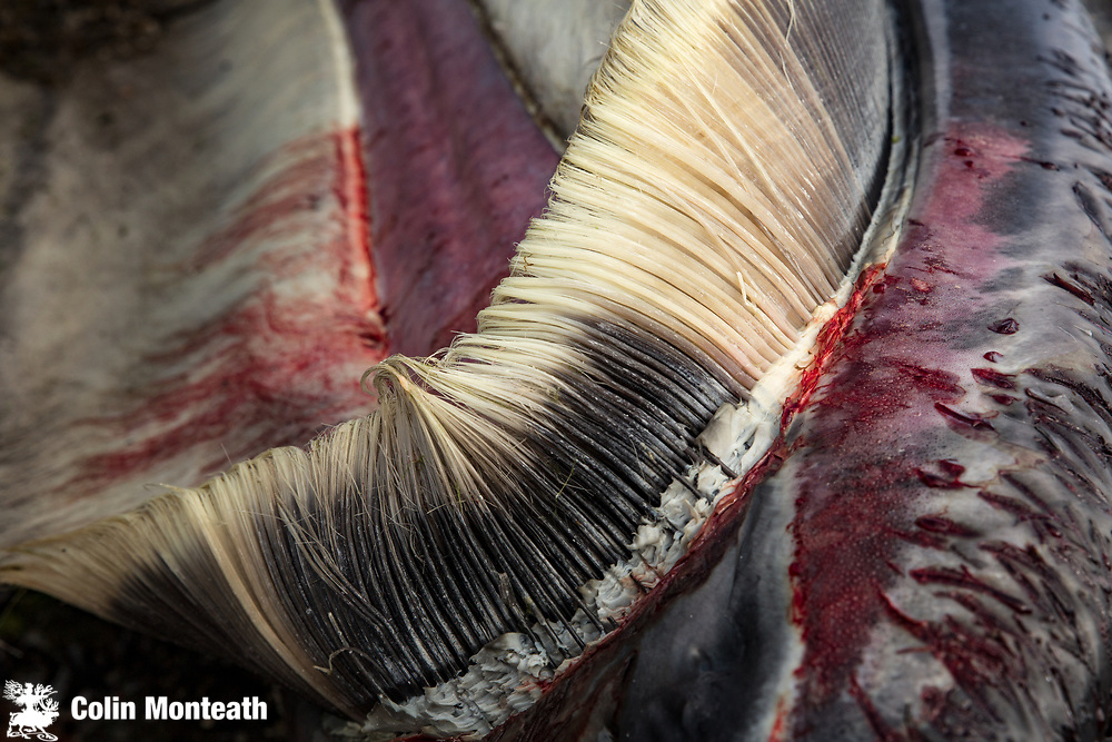 Baleen mouth plates for filtering krill, dead Sei whale, killed by orca, Puerto Williams, Isla Navarino, Tierra del Fuego, Chile