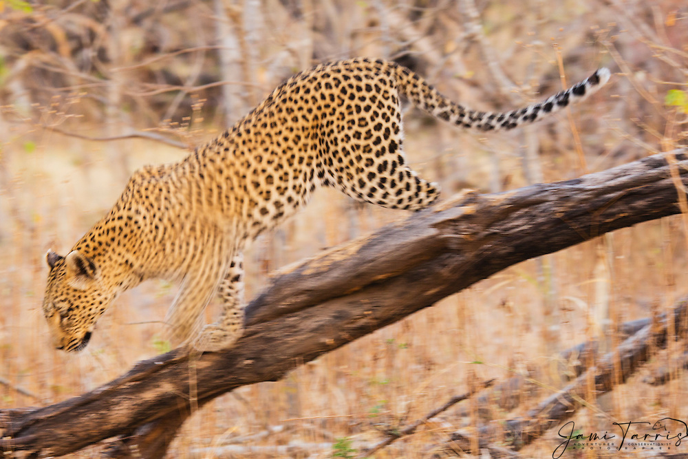 A motion-blur of a leopard (Panthera pardus) climbing down from a tree in the morning,Moremi Game Reserve,Botswana,Africa