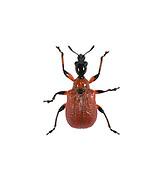 Hazel Leaf-roller - Apoderus coryli<br /> a weevil
