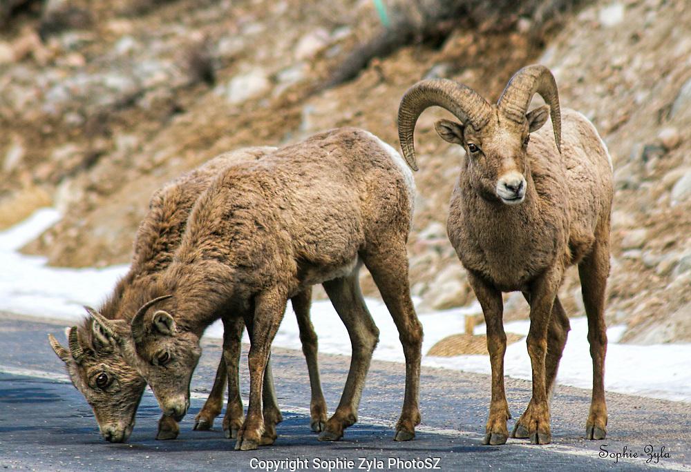 Bighorn Sheep Lookout