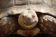 Galapagos Tortoise close up