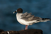Swallow-tailed gull (Larus furcatus)<br /> Española (Hood) Island<br /> Galapagos Islands<br /> ECUADOR.  South America<br /> ENDEMIC TO GALAPAGOS<br /> The world's only nocturnal and oceanic gull. At dusk it flies out to sea to feed. They rely on the bioluminescent light given off by squid - their favourite food - to find them. They breed either on the sand or on cliff edges. To prevent themselves crashing into the cliff walls on their return in darkness, they utter clicking vocalisations, thought to be a form of primitive echo-location, similar to that of bats. They have a less than annual breeding cycle so chicks can be seen at any time of year.<br /> [#Beginning of Shooting Data Section]<br /> Nikon D2X<br /> Focal Length: 300mm<br /> Optimize Image: <br /> Color Mode: Mode II (Adobe RGB)<br /> Long Exposure NR: Off<br /> High ISO NR: Off<br /> 2007/07/26 08:27:17.7<br /> Exposure Mode: Aperture Priority<br /> White Balance: Cloudy<br /> Tone Comp.: Normal<br /> RAW (12-bit)<br /> Metering Mode: Multi-Pattern<br /> AF Mode: AF-C<br /> Hue Adjustment: 0°<br /> Image Size: Large (4288 x 2848)<br /> 1/1600 sec - F/5<br /> Flash Sync Mode: Not Attached<br /> Saturation: Normal<br /> Color<br /> Exposure Comp.: -2.0 EV<br /> Sharpening: None<br /> Lens: 300mm F/2.8 D<br /> Sensitivity: ISO 200<br /> Auto Flash Comp: 0 EV<br /> Image Comment:                                     <br /> [#End of Shooting Data Section]