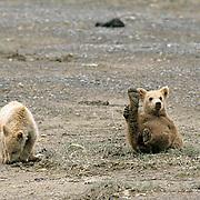 Alaskan Brown Bear, (Ursus middendorffi)  Pair of cubs playing. Coastal Alaska.