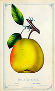 The Belle Lucrative pear is small, greenish, yellow fruit with small russet dots. from Dewey's Pocket Series ' The nurseryman's pocket specimen book : colored from nature : fruits, flowers, ornamental trees, shrubs, roses, &c by Dewey, D. M. (Dellon Marcus), 1819-1889, publisher; Mason, S.F Published in Rochester, NY by D.M. Dewey in 1872
