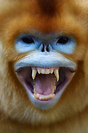 Portrait of a Golden Snub-nosed Monkey, Rhinopithecus roxellana, showing its teeth in Foping Nature Reserve, Shaanxi, China