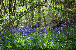 Bluebells growing wild in a wood, Kent. Hyacinthoides non-scripta