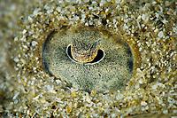 Eye of a butterfly ray, Gymnura sp, Pak Lap Tsai, Sai Kung, Hong Kong, China.<br /> This Image is a part of the mission Wild Sea Hong Kong (Wild Wonders of China).