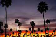 Palm Trees Arizona USA