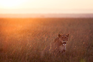 A lion in the Masai Mara National Reserve just after a morning kill, Kenya, Africa