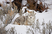 Coyote (Canis latrans) Coyote during winter in Yellowstone National Park