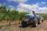 Israel, Negev, Lachish Region, Vineyard, a tractor pulls a tank of pesticide