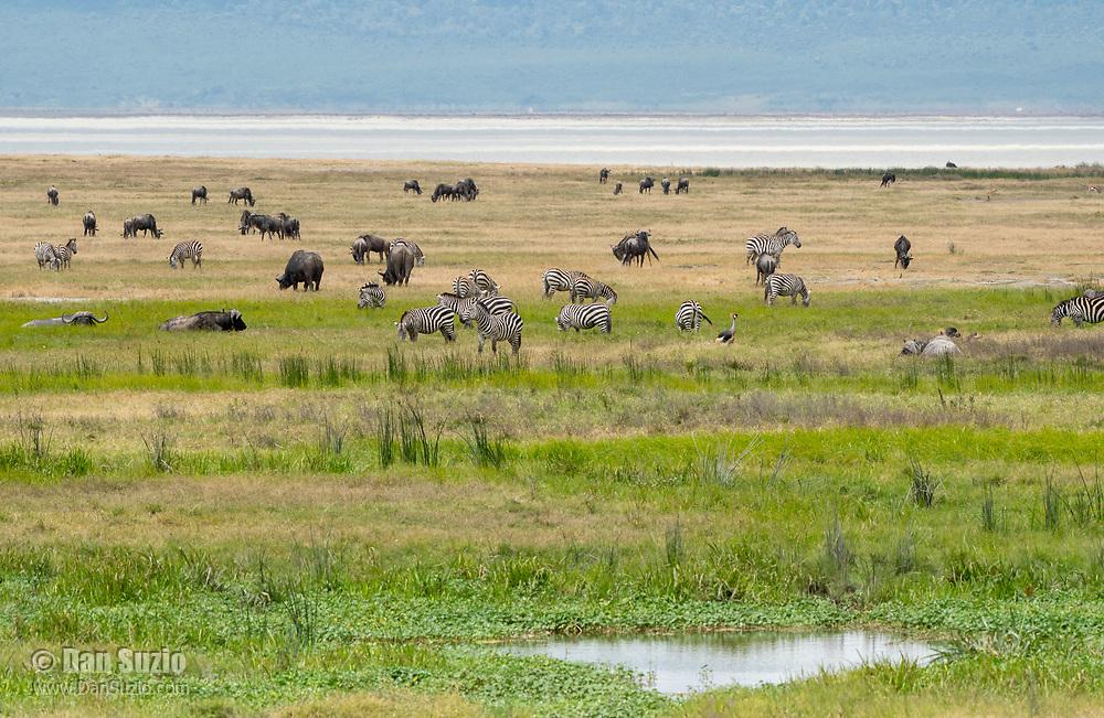 Grant's Zebras, Equus quagga boehmi, Cape Buffalo, Syncerus caffer caffer, and Gray Crowned Crane, Balearica regulorum, in Ngorongoro Crater, Ngorongoro Conservation Area, Tanzania