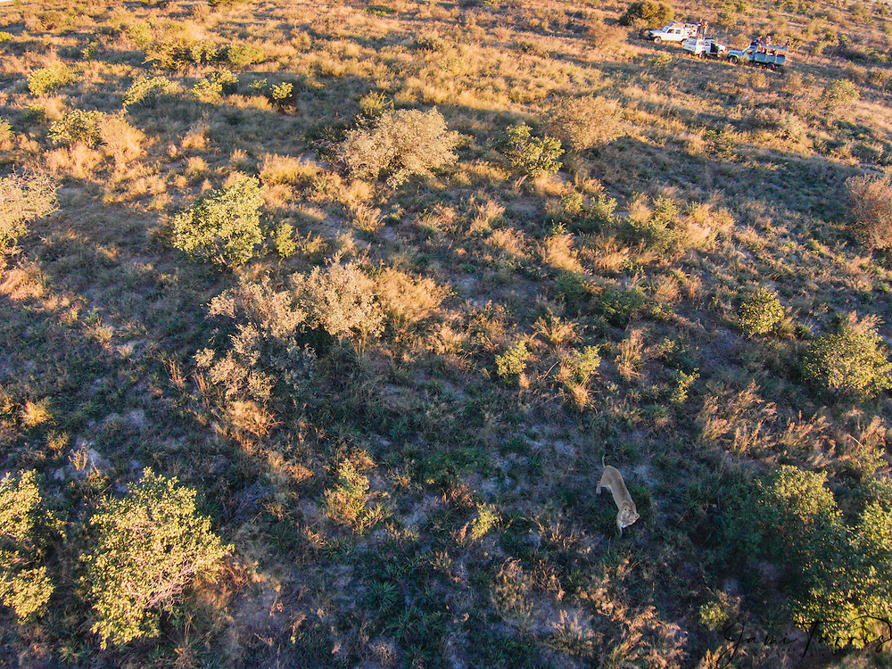 Aerial view of Kalahari lions (Panthera leo)with tourists watching in the background, Kalahari Desert, Botswana Africa