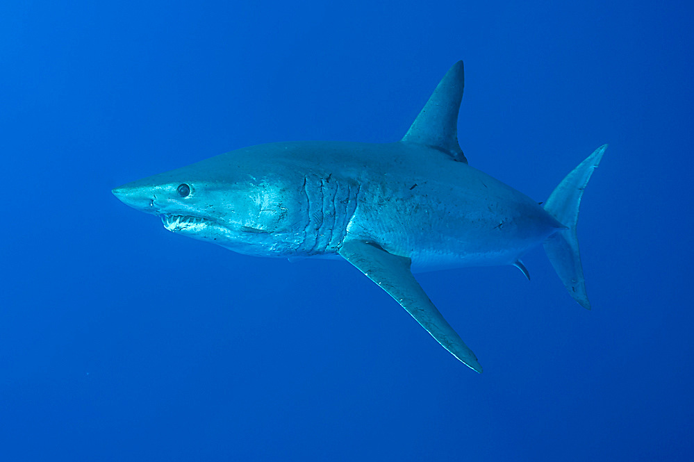 A Shortfin or Short fin Mako Shark, Isurus oxyrinchus, swims near the Azores Bank offshore Pico Island, Azores, a Portuguese archipelago situated in the Northern Atlantic.