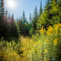 Morning sun shines on a clump of goldenrod in the Northern Forest of NH.  The sunburst on the bright yellow goldenrod was absolutely stunning against a backdrop of the northern forest conifers. A moose trail created an S curve from the trees to the goldenrod. I waited for a while hoping one would wander through this scene. Maybe next time.<br /> <br /> All Content is Copyright of Kathie Fife Photography. Downloading, copying and using images without permission is a violation of Copyright.