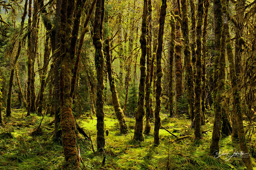 Grove of red alder with epiphytic mosses, Olympic NP Hoh Rainforest, Washington, USA