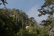Black Pine, Tara Canyon, near Durmitor, Montenegro