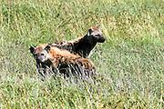 Tanzania, Serengeti, Two Spotted hyaenas Crocuta crocuta