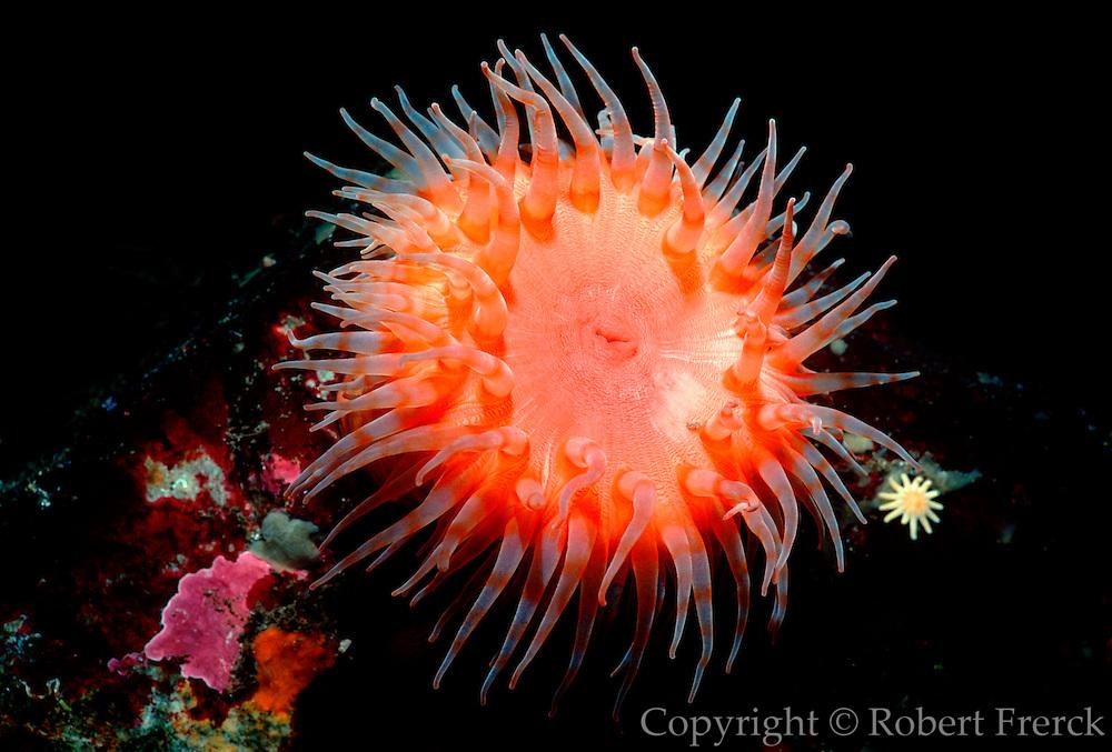UNDERWATER MARINE LIFE EAST PACIFIC: Northeast ANEMONES: Swimming anemone Stomphia coccinea
