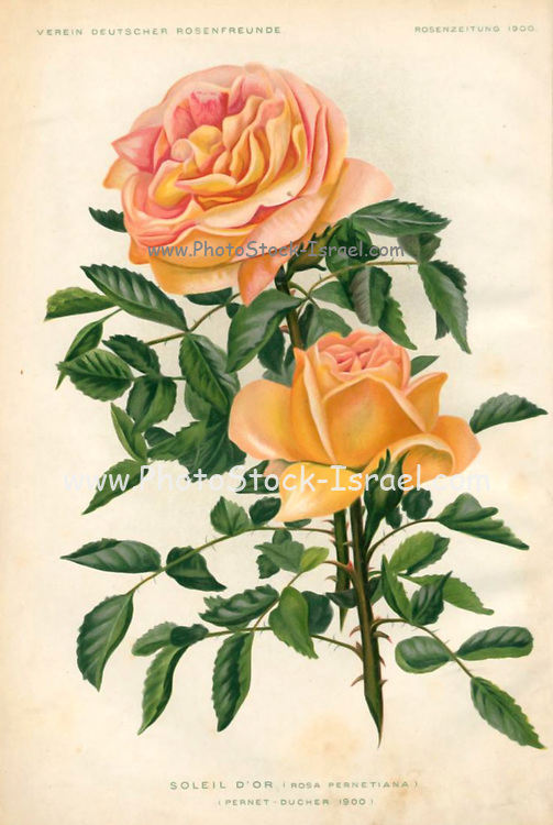 Hand painted and coloured Bouquet of pale pink roses 1900. Rosen-Zeitung, Organ des Vereins Deutscher Rosenfreunde, 1887 [Periodical of the German Rose Society (Vereins Deutscher Rosenfreunde)] by C. P. Strassheim