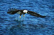 Bald eagle made a nice splash but missed the fish, Alaska, © David A. Ponton